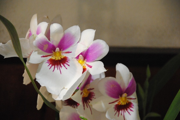 Orchid on display, International Orchid Exhibition, Monte Porzio Catone, Italy, photo by Rebecca Helm-Ropelato, April 21, 2003